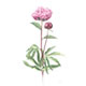 Pink Peony - Watercolour Painting by Botanical Artist Fiona Wheeler