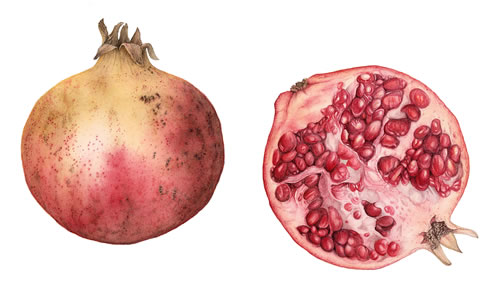 Pomegranates Painting by Botanical Artist Fiona wheeler - member of The Society of Floral Painters and Guildford Art Society - Private commissions invited