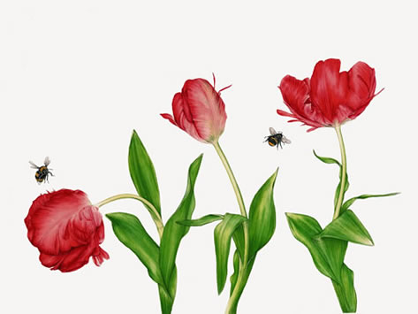 Red Parrot Tulips - Painting by Surrey Botanic Artist Fiona Wheeler - Specialist in Painting Botanic Subjects - member of The Society of Floral Painters and has since enjoyed much success. She also exhibits with Guildford Art Society and accepts private commissions